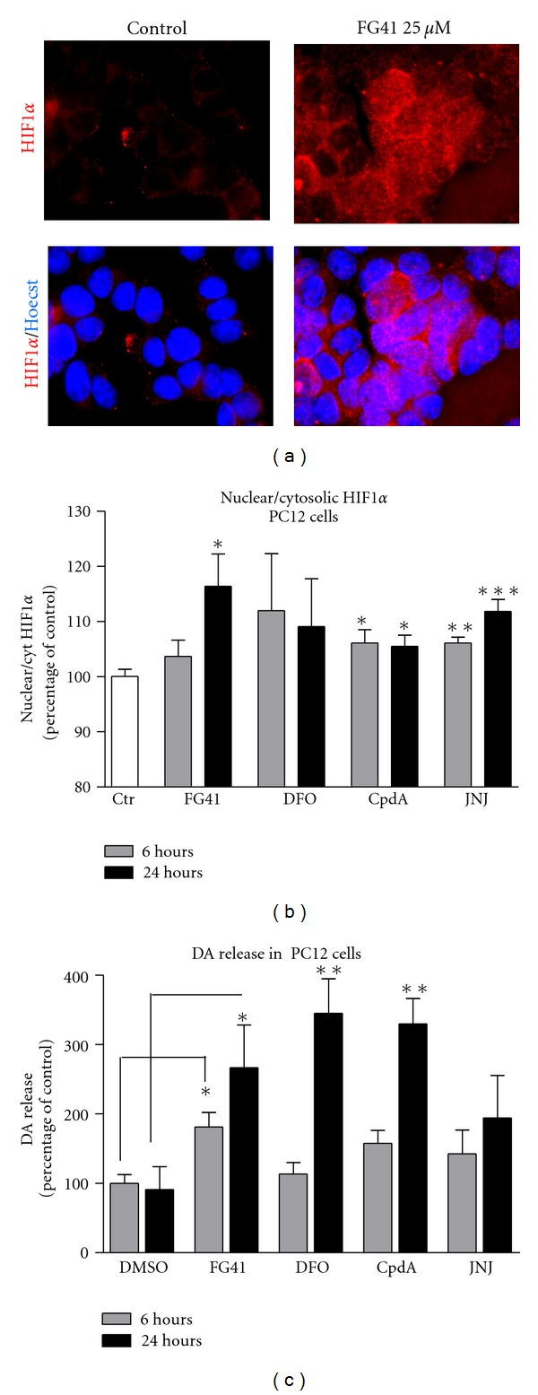 FG41 induces stabilization and nuclear translocation of HIF-1 α and dopamine release in PC12 cells. (a) Immunocytochemical detection of HIF-1 α in PC12 cells after 3 hours treatment with FG41 (25 and 50 μ M). (b) Cellomics ArrayScan quantification of the nuclear to cytoplasmatic ratio of HIF-1 α after 6 or 24 hours of treatment with FG41 or Cpd (both used at 25 μ M). (d) DA release from PC12-cells induced by 6 or 24 hours of treatment with FG41 or CpdA (25 μ M).