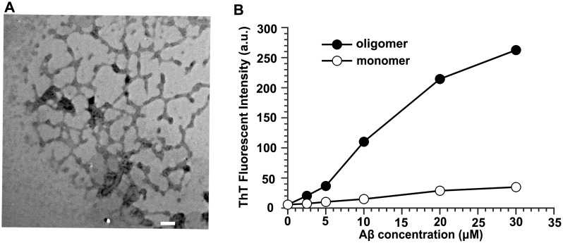 Characterization of oligomeric Aβ42 preparation. (A) Transmission electron micrograph (magnified×32,000) of 100 µM oAβ42. 10 µL of samples were spotted on a glow-discharged, carbon-coated Formavar grid and incubated for 2 min, washed with distilled water, stained with a 1% (w/v) aqueous uranyl acetate solution, and examined using an <t>H-8100</t> TEM. Scale bar is 100 nm. (B) ThT fluorescence assay of aggregates of Aβ42. a.u., arbitrary unit.