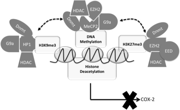 A hypothetical model depicting the central role of G9a- and EZH2-mediated histone methylation and the interdependent and mutually reinforcing crosstalk between histone methylation and DNA methylation in COX-2 epigenetic silencing in IPF. G9a- and EZH2-mediated H3K9me3 and H3K27me3 result in the recruitment of Dnmts and HDAC-containing complexes via HP1 and EZH2/EED, respectively, to the COX-2 promoter, which then leads to or reinforces DNA methylation and histone deacetylation. DNA methylation in turn causes the recruitment of G9a, EZH2, and HDAC-containing complexes through MeCP2 to strengthen H3K9me3, H3K27me3, and histone deacetylation, leading to reinforced epigenetic silencing of the COX-2 gene in IPF. Therefore, G9a- and EZH2-mediated H3K9me3 and H3K27me3 interact with DNA methylation in a bidirectional and mutually dependent manner to reinforce COX-2 epigenetic silencing in IPF. Disruption of any of these epigenetic modifications by inhibition or knockdown of G9a, EZH2, or Dnmt leads to the removal of the other repressive epigenetic modifications, resulting in an active chromatin state and reactivation of COX-2 in IPF.