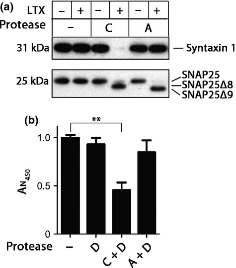The importance of syntaxin cleavage in botulinum-triggered cell demise. (a) Immunoblot showing that, in the presence of <t>Lipofectamine</t> <t>LTX,</t> the botulinum protease type C cleaves both syntaxin 1 and SNAP25 in N2A cells, whereas the type A protease cleaves SNAP25 only. Type C protease removes the last eight residues of SNAP25 (SNAP25Δ8), whereas type A removes the last nine (SNAP25Δ9). (b) The bar chart showing N2A cell demise following a 40 h treatment with the indicated proteases. Type A-induced cleavage of SNAP25, even in the presence of the type D protease, is insufficient to drive the cytotoxic effects. In contrast, cleavage of syntaxin by type C protease has a strong effect on cell survival (** p