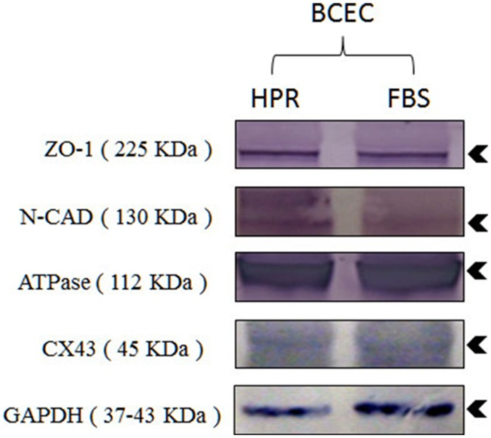 Western blot analysis of membrane markers ZO-1, N-cadherin (N-CAD), Na-K ATPase (ATPase), connexin 43 (CX43), in cells isolated and expanded in DMEM + F12 medium supplemented with 10% heat-treated platelet releasate (HPR) or complete SHEM medium (FBS). Molecular weight (kDa) of membrane markers is shown in parenthesis. GAPDH: Glyceraldehyde 3-phosphate dehydrogenase experimental marker control.