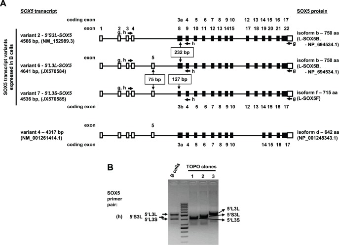 Human B cells express at least three different transcript variants of SOX5 . (A) Schematic representation of sequence verified human SOX5 transcript variants in B lymphocytes. Non-coding exons are depicted as open rectangles, partial coding exons - as half open rectangles and coding exons - as filled rectangles. Cloning primer locations are indicated with appropriate arrows. Exons and coding exons are numbered according to their location along the genomic sequence, which are drawn as black lines. (B) PCR analysis of SOX5 transcript expression in B cells and in single clones picked for sequence analysis. B lymphocytes express at least three different SOX5 transcript splice variants as evidenced by representative single TOPO clones 1, 2 and 3.