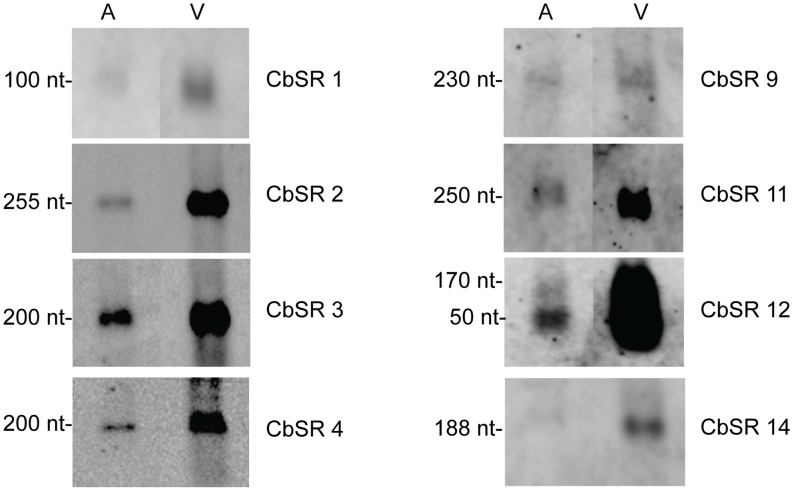Northern blots showing CbSRs up-regulated (≥2 fold) in host cells relative to ACCM2. RNA was isolated from SCVs (3 dpi) grown in ACCM2 (A) and in Vero host cells (V). Hybridizations were performed at high stringency using biotinylated oligonucleotide probes specific to each CbSR. 3 µg RNA was used for all lanes. Apparent sizes of the CbSRs, as calculated from the Northern blots, are indicated. (Note: intensity of bands is not comparable between panels, since exposure times for each panel have not been optimized).