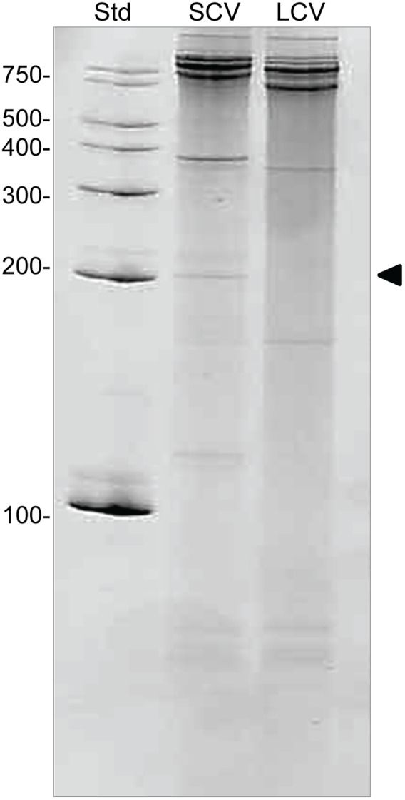 C. burnetii total RNA separated on a denaturing gel. RNA isolated from C. burnetii LCVs (3 dpi) and SCVs (14 dpi) grown in Vero host cells, separated on a denaturing 8 M urea 8% acrylamide gel stained with ethidium bromide (5 µg RNA per lane). Arrow indicates the position of 6S RNA at ∼200 nucleotides. The number of nucleotides in RNA size standards (Std) is indicated to the left.