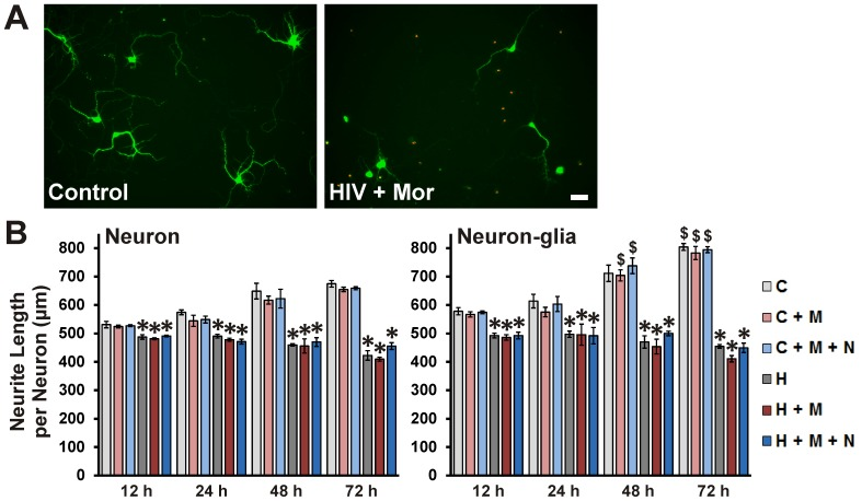 HIV + sup ± morphine-mediated neurite damage. Cells were fixed at specific intervals after treatment and labeled for <t>MAP-2</t> (green) and TUNEL (red). ( A ) Digital images of neuronal cultures at 72 h after treatment; scale bar = 40 µm. ( B ) The 'Sholl score' was assessed only for TUNEL(-) neurons in the digital images and converted into neurite length in µm via a micrometer-scale calibration. The findings were reported as average total neurite length per neuron (µm) ± SEM. Significance was analyzed by one-way ANOVA and Duncan's post hoc test from n = 4 separate experiments. At all time-points and in both culture systems, all groups exposed to HIV + sup showed significantly reduced neurite length (* p