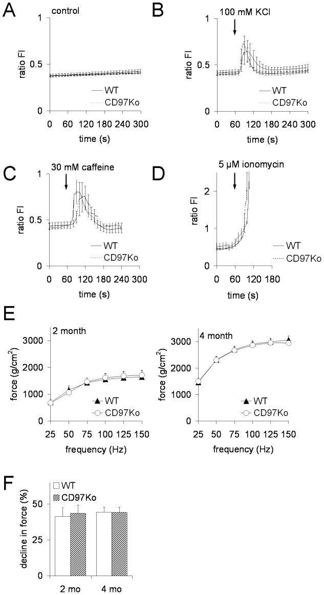 Calcium release from myofibers and muscle force generation and fatigability are normal in CD97Ko mice. A–D Intracellular Ca 2+ release from the SR into cytoplasm of single muscle flexor digitorum brevis (FDB) myofibers. Mean traces of the analyzed FDB fibers from adult WT and CD97Ko represent [Ca 2+ ]i responses measured by Fura-2AM video microscopy. Variations in [Ca 2+ ]i over time are represented by the ratio fluorescence intensities (FI) at 340 and 380 nm excitation wavelengths after dynamic background subtraction. Fibers were exposed to calcium release activators after 60 s. From 120 s till 300 s, medium without a substance was applied again. 5 mice per strain and from each mouse two to three fibers were analyzed (mean ± SEM, Mann-Whitney test). A Basal 340/380 fluorescence intensities (FI) ratios were unchanged in both WT and CD97ko fibers. B, C 100 mM KCl (B) and 30 mM caffeine (C) increased [Ca 2+ ]i comparably in WT and CD97Ko fibers. D Application of 5 µM ionomycin as a positive control induced a fast total store [Ca 2+ ]i release from the SR. E, F Functional analysis of skeletal muscles of CD97Ko and WT mice at the age of 2 and 4 months. Force-frequency relationship (E) and muscle fatigability, determined as percentage of decline in force over 15 s (F), were measured in soleus muscles (n = 8 mice/strain; mean ± SEM, t-test).