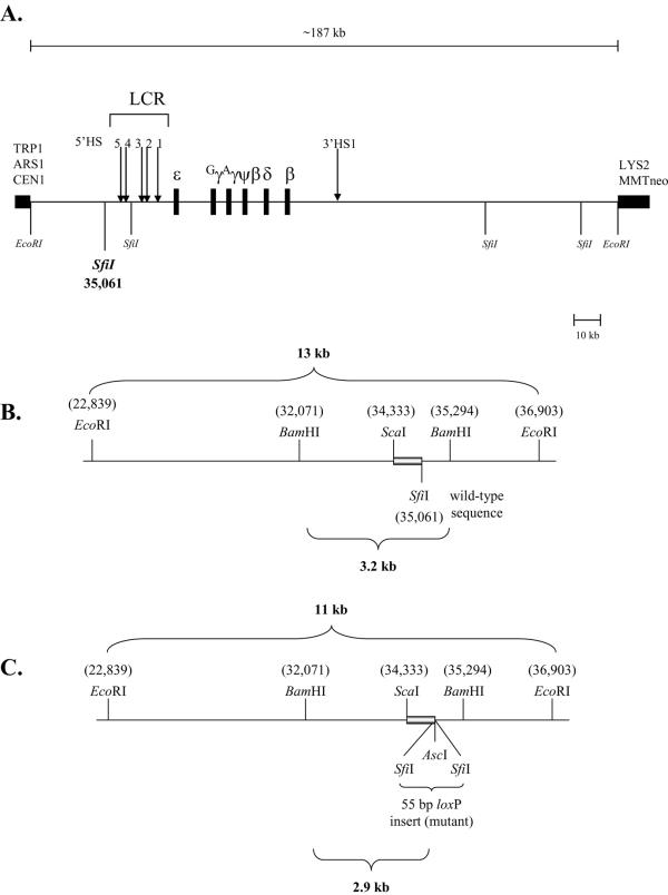 Schematic representation of the human β-globin locus and sequences upstream of the LCR 5'HS5 region A) The human β-globin locus YAC (β-YAC). The ~187 kb Eco RI genomic DNA fragment containing the human β-globin locus is shown as a line above the YAC map. The β-like globin genes and YAC arms are shown as black rectangles. The LCR HSs are denoted with arrows. YAC arms contain a centromere (CEN), an autonomous replication sequence (ARS1), selectable markers for tryptophan and lysine prototrophy (TRP1 and LYS2, respectively), and an MMTneo cassette for selection in mammalian cell culture. B) Wild-type sequence with pertinent restriction enzyme sites labeled above and below the line. The 683 bp Sca I- Sfi I probe used for Southern blot hybridization is indicated by the grey bar. C) A 55 bp loxP-Asc I site was inserted into the Sfi I site at nucleotide 31,061 by YIP-mediated homologous recombination. The numbering is based on GenBank file AF137396.