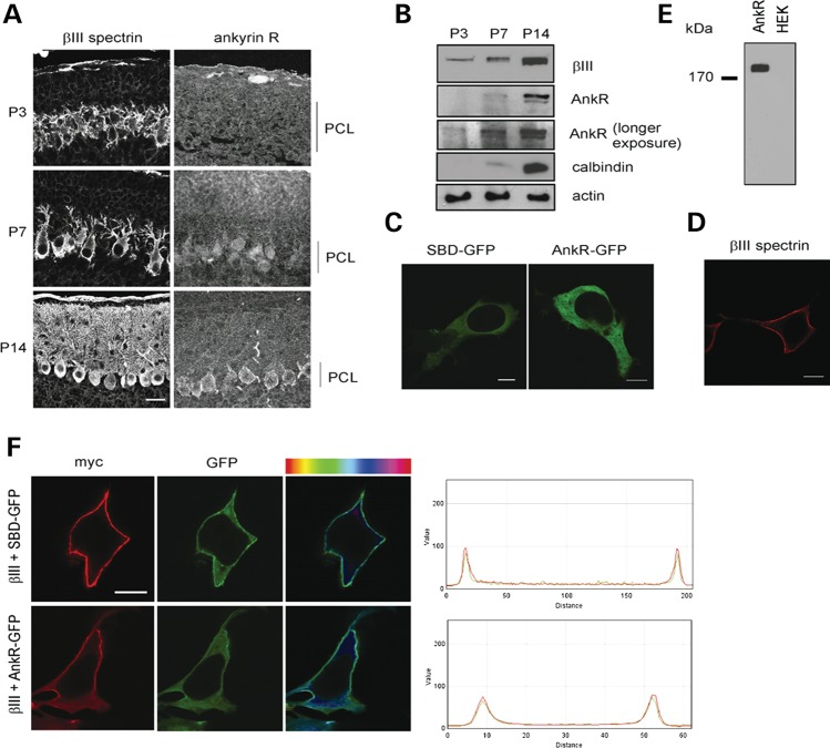 Ankyrin R recruited to membrane by β-III spectrin. ( A ) Sagittal cerebellar sections independently immunostained for β-III spectrin or ankyrin R at P3, 7 and 14. ( B ) Immunoblot analysis of cerebellar homogenates from P3, 7 and 14 animals. ( C ) Representative confocal images of HEK 293T cells transfected with SBD-GFP or AnkR-GFP only. ( D ) Representative confocal image of cell transfected with myc-tagged β-III spectrin only and immunostained using anti-c-myc antibody. ( E ) Immunoblot analysis of untransfected HEK 293T cells and ankyrin R transfected cell homogenates probed with anti-AnkR antibody. ( F ) Cells cotransfected with myc-tagged β-III spectrin and either SBD-GFP or AnkR-GFP. Cells immunostained using anti-c-myc antibody (red). Degree of colocalization shown both by residual map (right column), with cyan representing highest, and histogram of red and green fluorescence intensity through the cell. All images are representative of at least three independent experiments [PCL, Purkinje cell layer; scale bar, 50 μm (A), 10 μm (C, D, F)].