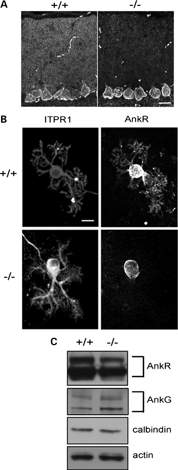 Loss of ankyrin R in β-III spectrin-deficient mice. ( A ) Sagittal cerebellar sections from 6-week-old WT (+/+) and β-III −/− (−/−) mice immunostained for ankyrin R. ( B ) Dissociated Purkinje cell cultures from WT (+/+) and β-III −/− (−/−) mice 14 DIV immunostained for ITPR1 and ankyrin R. ( C ) Immunoblot analysis of cerebellar homogenates from 6-week-old WT (+/+) and β-III −/− (−/−) mice probed for ankyrin R, ankyrin G, calbindin and actin. All images are representative of at least three independent experiments. Scale bar, 20 μm.