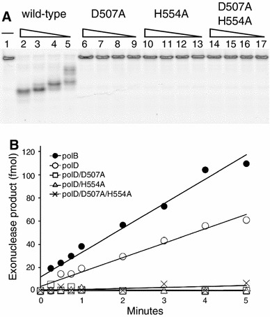 """Characterization of polD 3′–5′ exonuclease activity. a FAM-labeled primer/template DNA was incubated in 1× ThermoPol buffer. Various concentrations (10, 5, 2.5, 1.25 nM) of polD wild type ( Lanes 2–5 ), polD/D507A ( Lanes 6–9 ), polD/H554A ( Lanes 10–13 ) or polD/D507A/H554A ( Lanes 14–17 ) were added. Reactions were incubated at 65 °C for 10 min. Reactions omitting polD were run in parallel ( Lane 1 ). Reactions were separated by 15 % TBE-UREA polyacrylamide gel electrophoresis and visualized using a phosphorimager. b DNA polymerase (1 nM) was incubated with a FAM-labeled primer-template (15 nM) in 1× ThermoPol buffer. Exonuclease product was quantified over time and fit to a linear slope to derive rates as described in """" Materials and Methods """". PolB 3′–5′ exonuclease activity ( filled circle ; 21 fmol/min) was almost two-fold higher than polD ( open circle ; 12 fmol/min). PolD exonuclease-deficient mutants (polD/D507, open square ; polD/H554A, open triangle ; and polD/D507A/H554A, cross hatch ) lacked detectible 3′–5′ exonuclease activity"""