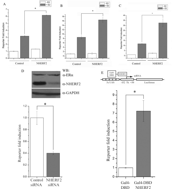 NHERF2 overexpression enhances ERα transactivation. Three cell lines, CV-1 ( A ), MCF7 ( B ) and HepG2 ( C ), were transiently transfected with empty pcDNA vector ('Control') or pcDNA3.1-NHERF2 ('NHERF2') along with ERE-TK-Luc in each case, and the effect on ERα transactivation was determined by assay of luciferase activity, as described in Materials and Methods. Assays were performed in triplicate in three independent experiments in the presence (gray bars) or absence (white bars) of E2 and the results are represented as mean ± S.E. ( D ) NHERF2 knockdown impairs ERα transactivation. MCF7 cells were transfected with NHERF2-specific siRNA or with an unrelated siRNA (control), along with ERE-TK-Luc, in the presence of E2. The effect on endogenous NHERF2 protein levels was visualized after 48 h by WB (Top panel), and the effect on ERα transactivation was determined by luciferase assay. Results, in triplicate in three independent experiments, are represented as mean ± S.E. ( E ) NHERF2 exhibits intrinsic transcriptional activity. NHERF2 transcriptional activity was assayed using the GAL4-UAS system. MCF7 cells were transfected with Gal4-DBD-NHERF2 (gray bar) or the Gal4-DBD alone (white bar), as the control, and a luciferase reporter containing a promoter with five UAS elements in tandem (5× UAS-luciferase, top panel). Luciferase activity, from three experiments assayed in triplicate, was normalized with respect to cells expressing Gal4-DBD and represented as mean ± S.E.