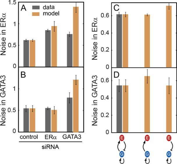 Model with only intrinsic noise predicts that negative feedback suppresses noise in ERα and GATA3 levels. (A and B) Noise in ERα and GATA3 levels in T47D cells after transfection with control, ERα or GATA3 siRNA for 48 h (dark gray bars). In the model, noise was first matched to the levels observed experimentally with control siRNA and later the model was used to predict noise for ERα or GATA3 siRNA treatment ( C and D). WT bars are the same as for control siRNA in panels A and B. The model predicts that either ERα or GATA3 noise levels increase in the mutants without negative feedback. Error bars represent standard error ( n = 3).