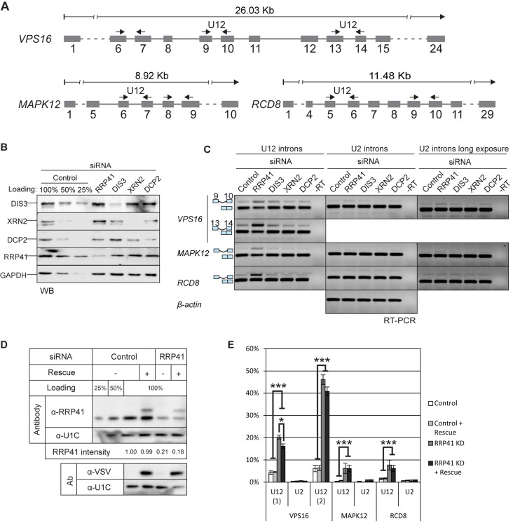 U12-intron-containing transcripts are stabilized by the exosome knockdown. ( A ) Exon/intron structures of human VPS16 , MAPK12 and RCD8 genes and positions of the primers used in RT-PCR experiments (arrows). ( B ) Western blot illustrating the depletion of RRP41, DIS3, XRN2 and DCP2 upon siRNA-mediated knockdown. Cell lysates from cells treated with control siRNA were loaded in the indicated amounts. ( C ) RT-PCR analysis of the three transcripts described in panel (A) and beta-actin after knockdown of RRP41, DIS3, XRN2 or DCP2. The positions of the transcripts (i.e. mRNA versus pre-mRNA) are indicated on the left. U2 panels are shown in two versions, in the middle panel contrast settings are the same as in the U12 panel; in the rightmost panel the same gel is shown with darker settings to reveal the weak U2 intron signals. ( D ) Expression level of VSV-epitope-tagged RRP41 containing silent mutations at the siRNA target site, analyzed by western blotting using a polyclonal anti-RRP41 antibody and anti-VSV tag antibody. The relative intensity of the endogenous RRP41 signal (normalized to U1C signal) is shown below the panels. ( E ) Quantification of intron retention levels upon RRP41 knockdown and with or without RRP41 rescue. VPS16 , MAPK12 and RCD8 spliced and unspliced signals in agarose gels containing separated RT-PCR products were quantified (* P
