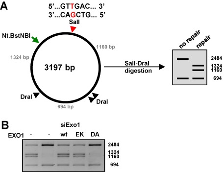Wild-type EXO1 and its E109K variant complement the MMR defect of EXO1-depleted extracts of HEK293 cells. ( A ) Schematic representation of the T/G MMR substrate. The <t>SalI</t> restriction site contains a T/G mismatch, which renders the site refractory to cleavage. Repair of the T/G mismatch to C/G restores a bona fide SalI site. The SalI- and the three <t>DraI</t> restriction sites are indicated. The restriction patterns seen upon agarose gel electrophoresis before and after repair are shown on the right. The Nt.BstNBI nicking site is located 316 nucleotides 5′ from the mispaired T. ( B ) Mismatch repair assay using HEK293 siEXO1 extracts supplemented with recombinant EXO1, either wild-type, or the E109K or D173A variants. The reactions were stopped after 30 min and the recovered substrates were digested with SalI/DraI. In the absence of repair, the substrate gives rise to fragments of 2484, 694 and 19 bp, while the repaired substrate generates fragments of 1324, 1160, 694 and 19 bp. The figure shows a scan of a 1% agarose gel stained with GelRed. The image is representative of three independent experiments.