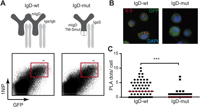 Fab-PLA detects IgD-BCR oligomers on the S2 cell surface. ( A ) Schematic drawing of wild type and double-mutant IgD-BCRs (δm transmembrane mutations and removal of the S–S bridge of the Igα/Igβ heterodimer) and their expression on transfected S2 cells analyzed by FACScan with a fluorescent 1NIP-peptide. Positively transfected S2 cells are indicated by the expression of a cotransfected GFP vector. The double-positive (GFP+, BCR+) S2 cell population, indicated by red square, were sorted and used for Fab-PLA. ( B ) Confocal microscopy analysis of the IgD:IgD Fab-PLA reaction of GFP+ S2 cells expressing wild type (left panel) or double-mutant (right panel) IgD-BCR. PLA signals are shown as red dots and nuclei were visualized by DAPI staining (blue). Scale bar: 5 μm. ( C ) Quantification of IgD:IgD Fab-PLA (each dot represents the amounts of Fab-PLA signals per S2 cell). The data were analyzed by the mann-whitney test and the median values are shown as red line. DOI: http://dx.doi.org/10.7554/eLife.02069.006
