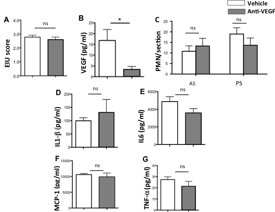 Clinical and biological effects of anti-VEGF on EIU in rats. A : Clinical scoring of endotoxin-induced uveitis (EIU; n = 5 rats per group, p > 0.05). B : vascular endothelial growth factor (VEGF) ocular levels (pg/ml) at 24 h (n = 5 rats per group, p = 0.0436). C : Polymorphonuclear cell infiltration in the anterior segment (AS) and in the posterior segment (PS) of rats (five sections/ eye, five eyes per group). D : Ocular levels of interleukin (IL)1-β (πγ/μλ; n = 5, p = 0.55), E : IL-6 (pg/ml; n = 5, p = 0.068). F : Monocyte chemoattractant protein-1 (MCP-1; pg/ml; n = 5, p = 0.3132). G : Tumor necrosis factor (TNF)-α (πγ/μλ; n = 5, p = 0.7273).
