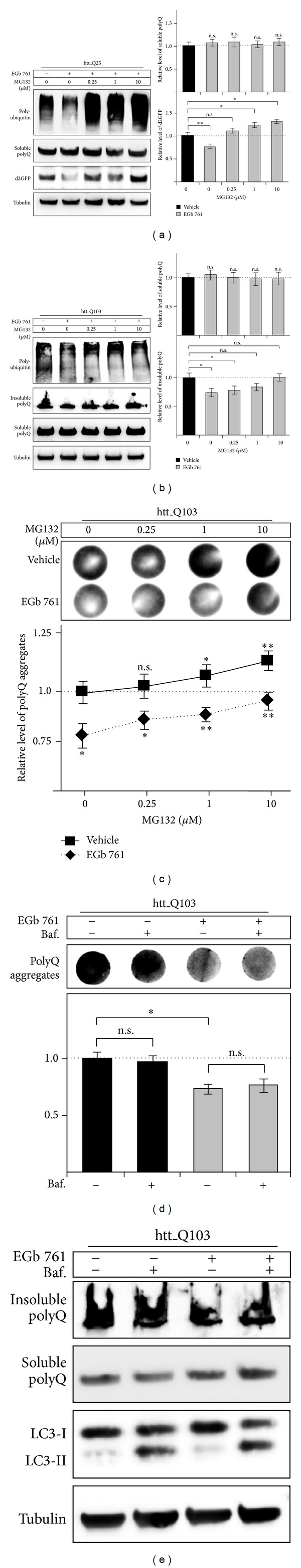 Effects of EGb 761 on degradation of polyQ proteins and polyQ aggregation. (a) d2GFP-HEK cells expressing htt_Q25 and (b–d) HEK293 cells expressing htt_Q103 were treated with EGb 761 or vehicle and subsequently chased with proteasome (MG132) or autophagy inhibitor (bafilomycin) to assess polyQ degradation and aggregation. (a) d2GFP-HEK cells expressing htt_Q25 were treated for 48 h with 150 μ g/mL EGb 761 or vehicle. Then, cells were incubated for 4 h with or without increasing concentrations of MG132. Protein levels of whole cell extracts were analyzed by immunoblotting to their corresponding antibodies. Protein levels of short-lived, unstable proteins (polyubiquitin, d2GFP) accumulated with proteasome inhibition while levels of long-lived polyQ proteins were not significantly altered. Values of d2GFP or polyQ protein of vehicle-treated cells without MG132 were arbitrarily set to 1; n = 4. (b-c) HEK293 cells expressing htt_Q103 were treated for 48 h with 150 μ g/mL EGb 761 or vehicle. Then, cells were subsequently incubated for 4 h with or without increasing concentrations of MG132. (b) Whole cell extracts were subjected to a filter retardation assay to assess polyQ aggregates, induced by pharmacologic proteasome inhibition. For the detection of aggregates of polyQ proteins trapped on nitrocellulose membrane an anti-eGFP antibody was used. Densitometric values of vehicle-treated cells without MG132 were arbitrarily set to 1; n = 5. (c) Protein levels of whole cell extracts (samples from b) were analyzed by immunoblotting to their corresponding antibodies. Protein levels of unstable, misfolded polyQ proteins accumulated with proteasome inhibition while levels of stable, soluble polyQ proteins were not altered. Values of soluble or insoluble polyQ proteins of vehicle-treated cells without MG132 were arbitrarily set to 1; n = 3. (d) HEK293 cells expressing htt_Q103 were treated for 48 h with 150 μ g/mL EGb 761 or vehicle. Then, cells were subsequently incubated for 3 