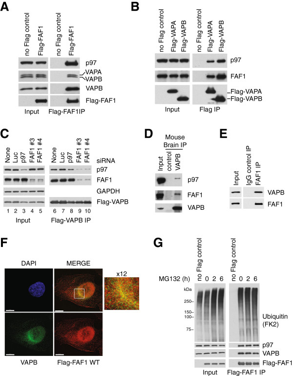 FAF1 interacts with VAPA and VAPB. (A) Flag-FAF1 immunoprecipitated from U2OS cells interacts with p97, VAPA and VAPB. (B) Flag-VAPA/B immunoprecipitated from U2OS cells interact with p97 and FAF1. (C) VAPB interaction with p97 is dependent on FAF1. U2OS cells were treated with the indicated siRNA oligos; luciferase (Luc) siRNA was used as a control. Flag-VAPB was immunoprecipitated and immunoblots of the immunoprecipitates (right) show that FAF1 depletion reduces the interaction with p97 whereas p97 depletion does not significantly affect the interaction with FAF1. (D) Endogenous VAPB interacts with p97 and FAF1 in mouse brain. Endogenous VAPB was immunoprecipitated from mouse brain extracts using Protein A-Sepharose (PAS) beads cross-linked to anti-VAPB antibodies. Uncoupled beads were used as a control. (E) Endogenous FAF1 interacts with VAPB in U2OS cells. The immunoprecipitation was performed using sheep anti-FAF1 antibody or sheep immunoglobulin G (IgG) as a control and PAS beads. (F) Indirect immunofluorescence of VAPB and wild-type (WT) Flag-FAF1. U2OS cells expressing Flag-FAF1 from a tetracycline-inducible promoter were grown in the presence of 200 ng/ml tetracycline for 24 hr and treated with 10 μM MG132 for 2 hr. Flag-FAF1 WT (red) co-localizes with VAPB (green) in a peri-nuclear area (enlarged window), suggesting an ER pattern. Scale bar is 10 μm. (G) VAPB levels and its interaction with Flag-FAF1 are not affected upon proteasome inhibition. Flag-FAF1 was immunoprecipitated from U2OS cells treated with 10 μM MG132 for 2 hr, 5 μM MG132 for 6 hr or left untreated (0 hr). Ubiquitinated proteins, p97 and VAPB were detected by immunoblotting in inputs (left) and immunoprecipitates (right). DAPI, 4',6-diamidino-2-phenylindole; IgG, immunoglobulin G; IP, immunoprecipitate; Luc, luciferase; WT, wild type.