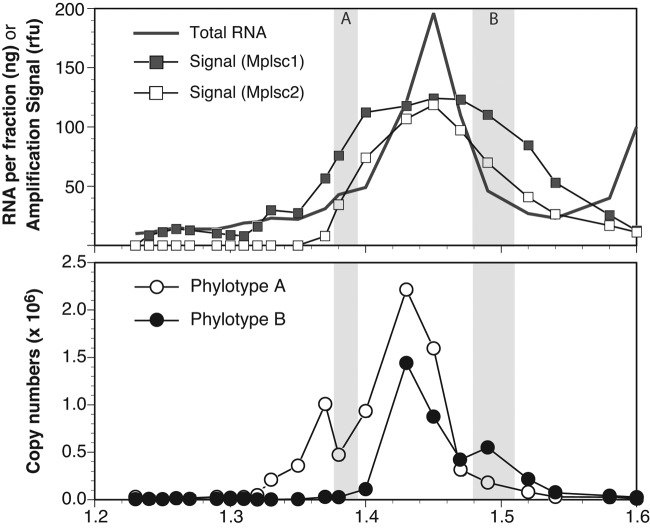 Distribution of picornavirad-like viruses in a CsCl buoyant density gradient. (Upper panel) The total RNA from the 2009 sample measured in each fraction of a buoyant density gradient (redrawn using data from reference 4 ) is shown along with the average amplification signal from endpoint PCR with degenerate primers targeting marine picornavirad-like viruses. The amplification signal value (in arbitrary relative fluorescence units) was determined by image analysis of the amplicons on an agarose gel and is presented as the running average of the signal for two sets of primers broadly targeting marine picornavirad-like subclade 1 (Mplsc1) and Mplsc2. (Lower panel) The copy numbers of two specific RdRp phylotypes that were identified by cloning and sequencing of amplicons from two of the fractions as determined by RT-qPCR. The shaded regions in both panels indicate the fractions used to create clone libraries and are labeled according to the phylotype (A or B) that was found only in that library.