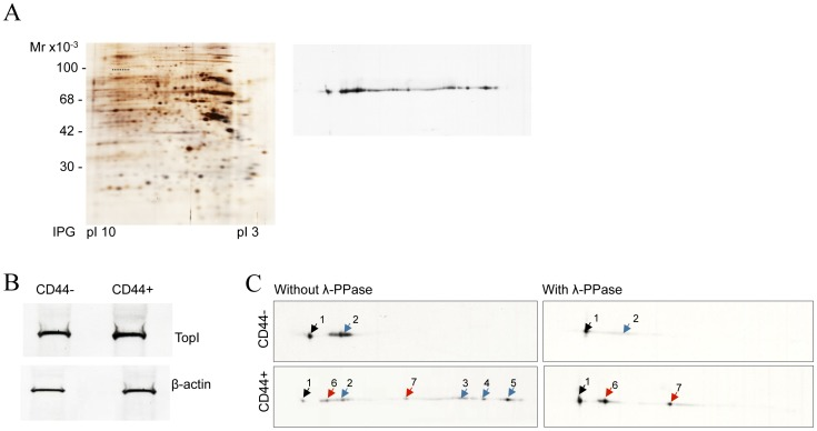 Phoshorylation pattern of TopI in extracts from CD44+ or CD44− cell subpopulations. ( A ) Two-dimensional silver staining (left panel) and immunoblot analysis (right panel) of TopI expression pattern in the Caco2 cell line. The positions of TopI are underlined. The TopI identity of two major isoforms recognized by TopI antibodies was ensured by the MS/MS analysis of several bands excised from the silver stained gel (data not shown). ( B ) One-dimentional immunoblot analysis of TopI expression in CD44− and CD44+ FACS sorted cell fractions by immunoblotting with TopI antibodies. β-actin was used as a loading control. ( C ) Two-dimentional immunoblot analysis of TopI expression and post-translational modification pattern in CD44− and CD44+ cell fractions (left-hand panels) by immunoblotting with TopI antibodies. Equal protein amounts were loaded on the gels. The time of blot exposure is identical. The resulting pattern of TopI after cell treatment with λ-PPase prior the 2D PAGE analysis is presented (right-hand panels). Arrowheads indicate multiple forms of TopI (black arrowheads – the position of the non-phosphorylated TopI, blue arrowheads – the positions of phosphorylated TopI isoforms; red arrowheads – the positions of non-phosphorylated otherwise modified isoforms). The positions of parental and modified TopI isoforms are verified by the superimposing of all analyzed blots.