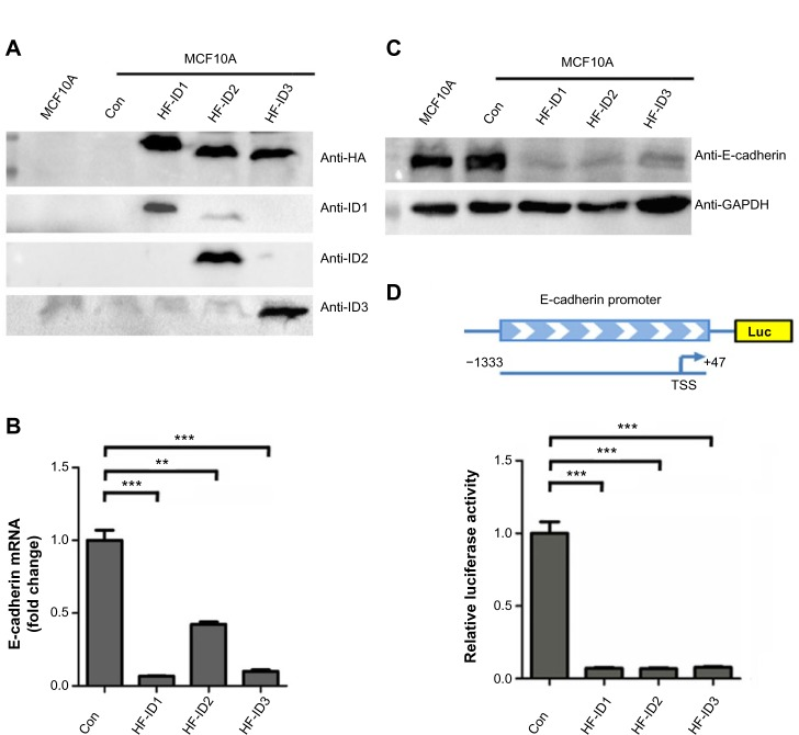ID proteins inhibit E-cadherin expression in breast cells. Notes: ( A ) Western blot analysis of MCF10A cells with stable expression of <t>ID1,</t> ID2, or ID3. ( B ) Real-time <t>PCR</t> analysis of E-cadherin mRNA abundance in cell lines in ( A ). ( C ) Western blot analysis of E-cadherin protein abundance in cell lines in ( A ). ( D ) Assessment of E-cadherin promoter activity, using luciferase reporter assays, in HEK293T cells. The 1.38 kb DNA sequence containing E-cadherin promoter region was cloned upstream of the luciferase gene in a reporter construct (top image). The relative luciferase activities of luciferase reporters with E-cadherin promoter were determined in HEK293T cells, which were cotransfected with the ID1, ID2, ID3, and control vectors. For ( B ) and ( D , bottom image), data represent mean values, with error bars indicating SEM. ** P
