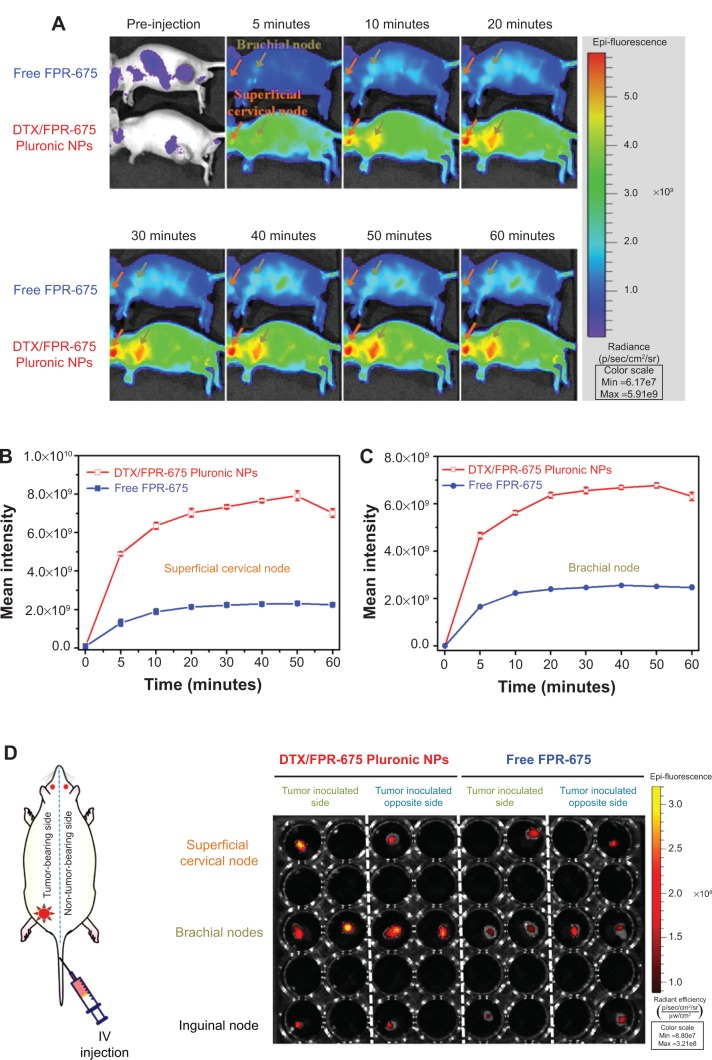 In vivo real-time and excised lymph node near-infrared fluorescence imaging of tumor-bearing mice injected with DTX/FPR-675 Pluronic NPs for lymph node imaging. Notes: In vivo whole body near-infrared fluorescence images of mice (n=4) 60 minutes post-injection of ( A ) free FPR-675 (upper) and DTX/FPR-675 Pluronic NPs (lower). Comparison of near-infrared fluorescence intensity in ( B ) an excised superficial cervical (right) and a brachial (left) node and ( C ) near-infrared fluorescence images using DTX/FPR-675 Pluronic NPs. ( D ) Representative ex vivo fluorescence images of dissected lymph nodes (superficial cervical, brachial, and inguinal). Abbreviations: DTX, docetaxel; NPs, nanoparticles; FPR-675, Flamma™ fluorescence molecular imaging dye; IV, intravenous.