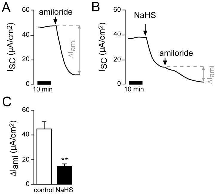 H 2 S inhibits amiloride-sensitive Na + absorption. A ) Representative current trace of a control experiment. In order to estimate the amount of Na + absorption, the ENaC inhibitor amiloride (10 µM) was applied apically. B ) Similar experiment showing the effects of amiloride after apical pre-treatment of the lung epithelium with apical NaHS (1 mM). C ) Statistical evaluation of experiments as shown in panels A and B. Depicted are amiloride-sensitive (ΔI ami ) current fractions. NaHS significantly reduced ΔI ami from 45.04±5.55 µA/cm 2 to 14.84±1.77 µA/cm 2 (n = 5; N = 3; p≤0.001).