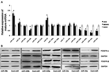 miRNA selection using qRT-PCR and Western blot analyses (A) The expression levels of 16 miRNAs in gastric cancer cell lines. The expression of these 16 miRNAs was detected using qRT–PCR analysis, and the expression levels of the mature miRNAs were normalized to the levels of the U6 small nuclear RNA. (B) The expression of PDGFR-α/β in gastric cancer cell lines. The expression of PDGFR-α/β was examined using Western blot analysis after the forced expression of miR-29a/b/c, miR-449a/b and miR-34a/c. The data represent the mean±S.D.;* P