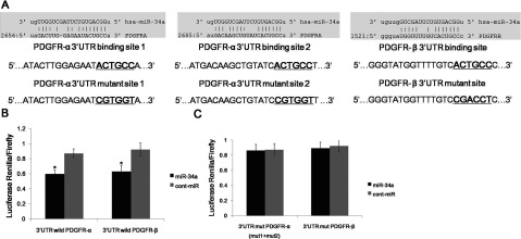 miR-34a can directly target <t>PDGFR-α/β</t> (A) The wild-type and mutated sequences of the two predicted miR-34a binding sites within the PDGFR-α3′ UTR and one predicted miR-34a binding site within the PDGFR-β3′ UTR are shown. (B) Co-transfection of miR-34a and the wild-type PDGFR-α/β 3′ UTR caused a significant decrease in luciferase activity compared with the controls. (C) Co-transfection of miR-34a and the mutant PDGFR-α/β3′ UTR plasmids (including all mutants) did not cause a decrease in luciferase activity. The data represent the mean±S.D.;* P