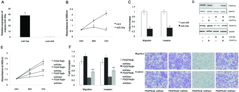 miR-34a inhibits gastric cancer cell migration, invasion and proliferation, in part, by targeting PDGFR (A) Transient transfection of miR-34a mimics significantly increased miR-34a expression in the AGS cell line. (B) The proliferation of AGS cells was significantly reduced after miR-34a transfection compared with cont-miR transfection.(C) miR-34a significantly reduced the migration and invasion of the AGS cells compared with the controls. (D) Immunoblot analysis of PDGFR expression in AGS cells transfected with miR-34a mimics or cont-miR with or without PDGFR restoration. PDGFR-α/β expression was significantly decreased after transfection with miR-34a mimics, but PDGFR-α/β expression was restored by the overexpression of PDGFR-α/β. (E,F) Gastric cancer cell migration, invasion and proliferation were partially restored after PDGFR restoration. The data represent the mean±S.D.; * P