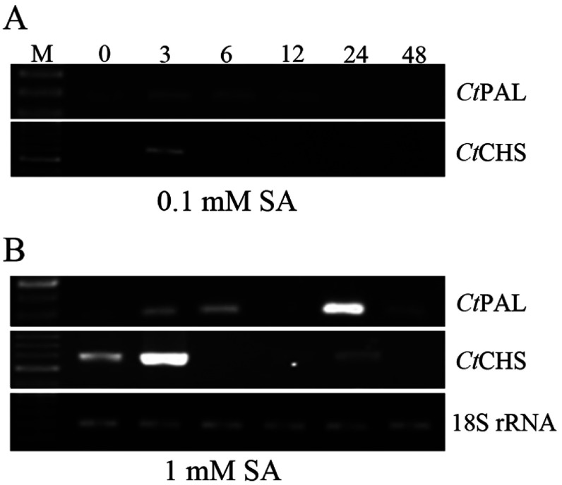 Expression patterns of Ct PAL and Ct CHS genes after SA treatment with 0.1 mM (A) and 1 mM (B) concentrations Samplings were done at 0, 3, 6, 12, 24 and 48 hat. RNAs were extracted from all seedlings and treated with DNaseI. Subsequently, RNAs were reverse transcribed to corresponding cDNAs. Different PCR products intensities were referred to as temporal expression level of the genes. 18S rRNA transcription levels were considered as internal house-keeping gene control. Sizes of amplicons: Ct PAL: 267 bp; Ct CHS 559 bp; 18S rRNA: 199 bp.