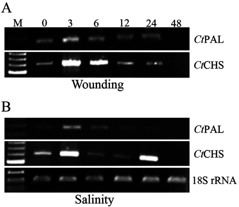 Expression patterns of Ct PAL and Ct CHS genes after wounding (A) and during salinity stress (B) Samplings were carried out at 0, 3, 6, 12, 24 and 48 hat. RNAs were extracted from all seedlings and treated with DNaseI. Subsequently, RNAs were reverse transcribed to corresponding cDNAs. Different PCR products intensities were referred to as temporal expression level of the genes. 18S rRNA transcription levels were considered as internal house-keeping gene control. Sizes of amplicons: Ct PAL: 267 bp; Ct CHS 559 bp; 18S rRNA: 199 bp.
