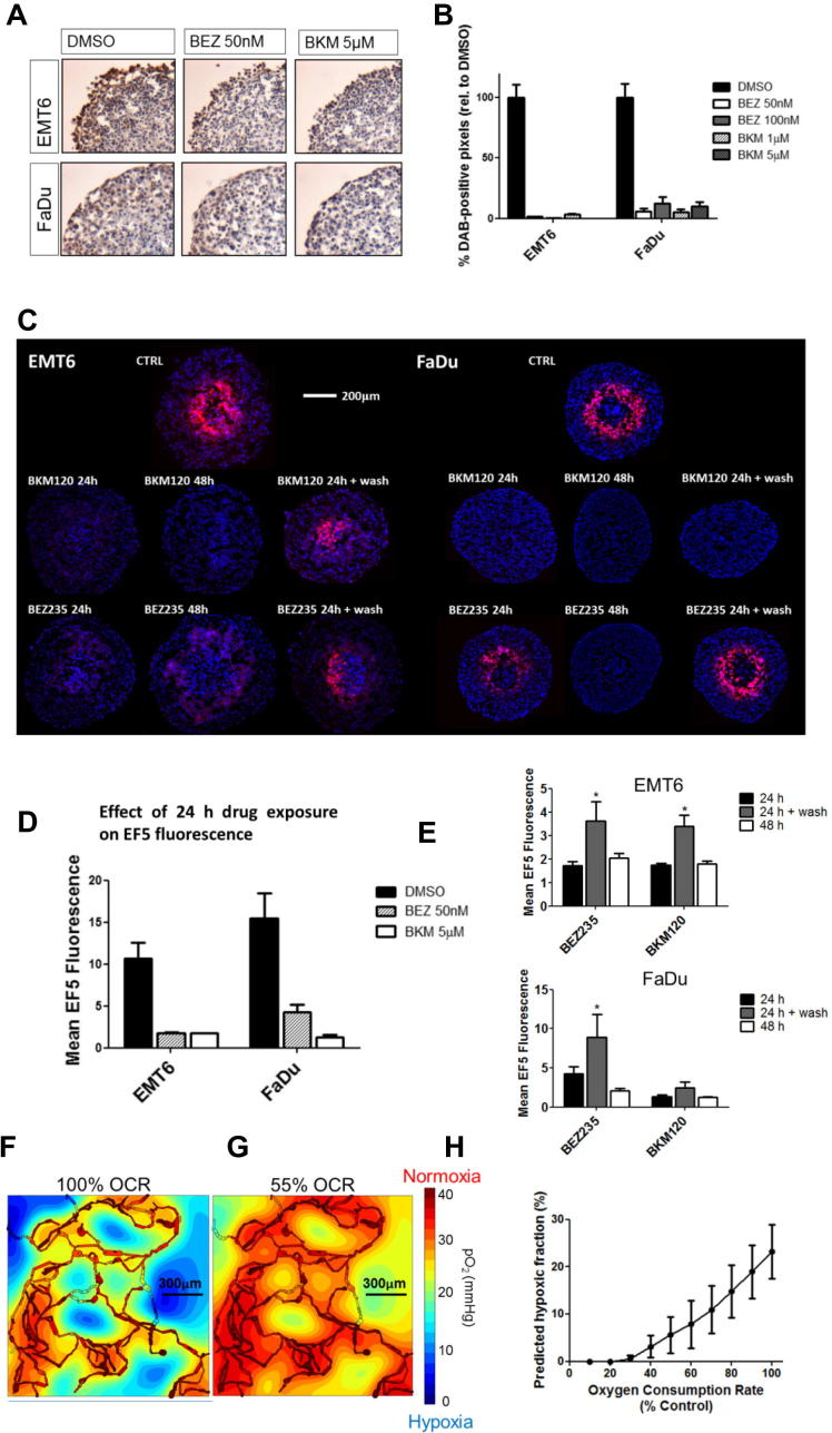 Hypoxia is reduced in a 3D spheroid model and is predicted to decline in vivo . (A) EMT6 and FaDu spheroids were treated for 24 h with BEZ235 or BKM120, prior to fixation and sectioning. Sections were DAB-stained for pAKT (Ser473) expression. Representative images are shown for BEZ235 (50 nM) and BKM120 (5 μM). (B) The percentage of DAB-positive pixels in the viable region of the spheroid was reduced with all treatments. (C) Spheroids were treated with 50 nM BEZ235 or 5 μM BKM120 for 24 h, 48 h or 24 h followed by 24 h incubation in drug-free medium (24 h + wash). Hypoxia was assessed by staining central spheroid sections for EF5 (red) with Hoechst as a counterstain (blue). Data shown are representative of two independent experiments, n = 10 spheroids. (D) Mean EF5 fluorescence in spheroids treated for 24 h was reduced in both cell lines tested. (E) To assess whether hypoxia was recoverable, mean EF5 fluorescence in spheroids treated for 24 h was compared with that in spheroids treated for either 48 h or 24 h followed by the 24 h wash in drug-free medium. In cells treated with BEZ235, the 24 h wash period led to a return of the hypoxia signal. (F and G) Simulated distribution of oxygen partial pressure (mmHg) in a representative 1497 μm × 1482 μm vascular network derived from ex vivo samples where oxygen consumption was either 100% (F) or 55% (G) of base level. Highly oxygenated regions are in red, scaling down to poorly oxygenated regions in blue. (H) Average hypoxic fraction (defined as