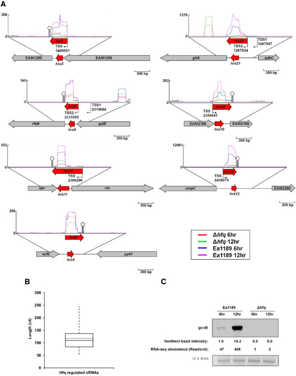 Identification of sRNAs using RNA-seq transcriptomics. (A) Illustration of examples of sRNAs identified by RNA-seq. (B) sRNA length distribution. The box and whisker plot diagram represents the minimum and maximum size, the median as well as the average sizes of the sRNA identified. (C) Comparison of the GcvB RNA amount detected by Northern blot and by RNA-seq.