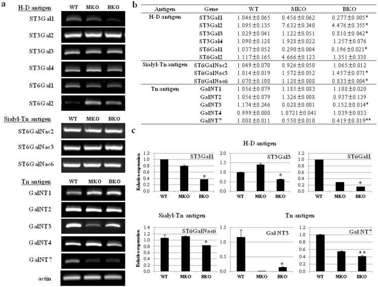 Sialyltransferase gene expression levels in control, monoallelic, and biallelic CMAH KO pigs. (a) Electrophoretic analysis of RT-PCR from control, monoallelic, and biallelic CMAH KO pig-derived fibroblast cells. (b) Comparison of sialyltransferase gene expression in control-, monoallelic-, and biallelic-derived pig fibroblast cells by real-time RT-PCR. (c) Quantification of real-time RT-PCR analysis in control-, monoallelic-, and biallelic-pig fibroblast cells. All RT-PCR reactions were conducted in triplicate and normalized with pig actin mRNA. Each of monoallelic- and biallelic-pig relative values is presented as an n-fold expression difference compared to the control pig, which was set as 1. *P
