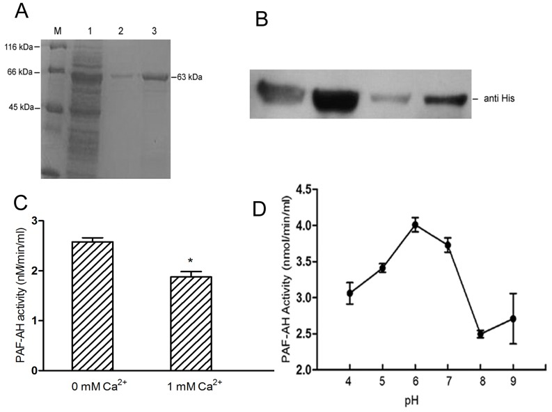 Properties of the PAF-AH enzyme. (A) The protein was expressed in E. coli BL21 (DE3). M, protein marker. 1, supernatant of induced lysis cells; 2 and 3, purified PAF-AH from the elution buffer. (B) Immunoblot analysis of purified PAF-AH using anti-His tag antibodies as indicated. (C) The PAF-AH activity assay experiment was carried out as described in Materials and Methods . Error bars denote SD. Asterisks indicate significant differences in enzyme activity under the condition of no Ca 2+ compared with 1 mM Ca 2+ (Student's t -test, P