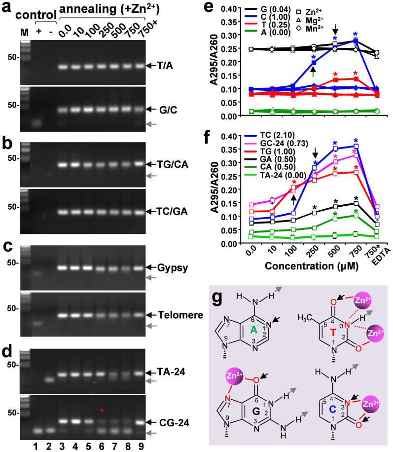 Annealing patterns and Zn 2+ binding potentials of ssDNA composed of repetitive nucleotides. (a–d). EtBr-stained 2.5% agarose gels showing the annealing patterns of mononucleotide (a), dinucleotide (b), tri- or hexanucleoride repeats (c), and the ssDNA containing CG or TA-repeats (d). Note that although the equal amounts of DNA were loaded, some ssDNA controls (e.g., lanes 1 and 2 in a–c) were not (or only faintly) visible because these CG/GC sites-lacking DNA oligos are not expected to form stable helical structures (as those shown in Fig. 3 ) that are preferentially targeted by EtBr, a well-known double helical DNA intercalator. (e and f). <t>A295/A260</t> ratios plotted against metal ion concentrations as shown in Fig. 1 . (g) Potential Zn 2+ binding sites in the four types of nucleotides. The O and N atoms in the heterocyclic rings are highlighted in red. Hydrogen-bonding donors and receptors are indicated by gray and black arrows, respectively (adapted from ref. 10 ). Pink spheres representing the coordinated Zn 2+ -water complex (ref. 26 ). Note that adenine lacks O atom and the N3 atom of thymine may not be a preferred binding site for Zn 2+ (dashed lines) due to its bonding with the proton.