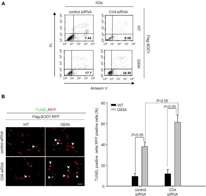 Depletion of CIIA by RNAi potentiates SOD1(G93A)-induced cytotoxicity. (A) Neuro2a (N2a) cells expressing Flag-tagged human SOD1(WT) or SOD1(G93A) were transfected for 48 h with si RNAs specific for GFP or CIIA mRNAs. The cells were stained with annexin V and PI, and the percentages of apoptotic cells were determined by flow cytometry. (B) NSC34 cells expressing Flag-tagged SOD1(WT) or SOD1(G93A) were transfected for 48 h with plasmids encoding RFP along with GFP (control) or CIIA siRNA. The cells were then examined for apoptosis by TUNEL assay. Left, representative images of the assay (scale bar, 100 μm). Arrows indicate TUNEL-positive cells. Right, the data are means ± s.e.m. from three independent experiments.