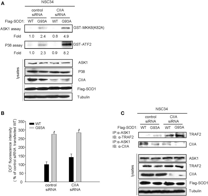 CIIA inhibits SOD1(G93A)-induced activation of ASK1 . NSC34 cells cells were stably transfected with plasmid vectors encoding Flag-tagged SOD1(WT) or SOD1(G93A) along with vectors for GFP or CIIA siRNA. (A,B) Cell lysates of the stable transfectants were examined for ASK1 and p38 kinase activities by immune complex kinase assay (A) or for intracellular ROS production by DCF fluorescence (B) . The data are means ± s.e.m. from three independent experiments. * P