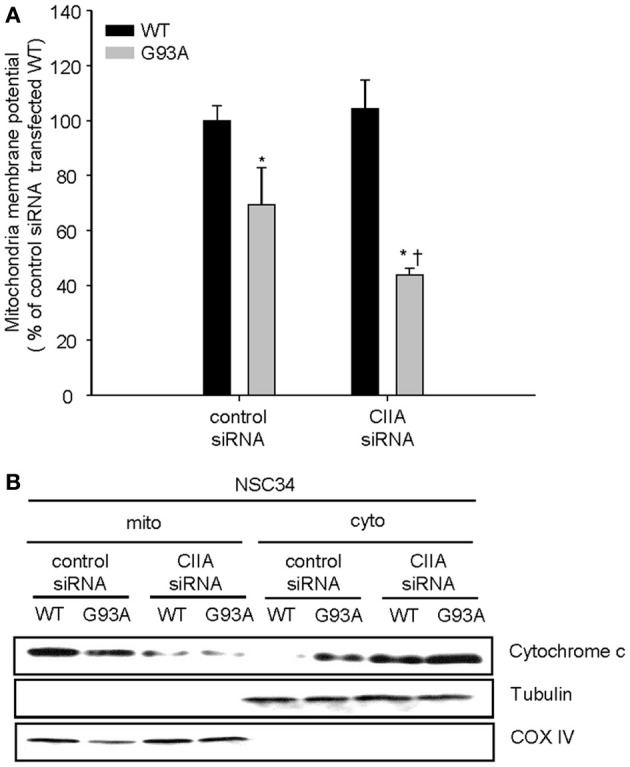 CIIA inhibits SOD1(G93A)-induced reduction of mitochondria membrane potential (Δψ m ) and the release of cytochrome c . NSC34 cells were stably transfected with plasmid vectors encoding Flag-tagged SOD1(WT) or SOD1(G93A) along with vectors for GFP or CIIA siRNA. (A) mitochondria membrane potential (Δψ m ) was analyzed by measuring the fluorescence intensity of tetramethyl rhodamine methyl ester (TMRM, a mitochondria potential sensor). Quantitative data are mean ± s.e.m. from three independent experiments. * P