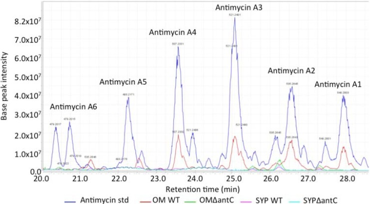 Analyses of antimycin production in wild-type and mutant strains. Extracts were analyzed by <t>LC-Orbitrap</t> and compared to the antimycin A standard. Although the standard is alleged to contain antimycin A1 to A4, peaks corresponding to antimycin A5 and A6 were also identified. The samples are as follows: antimycin A standard (dark blue); extract from SM8 WT grown in OM-SW (red); extract from SM8 - Δ ant C mutant grown in OM-SW (green); extract from SM8 WT grown in SYP-SW (pink); extract from SM8 - Δ ant C mutant grown in SYP-SW (light blue).