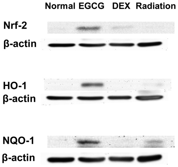 (A) Epigallocatechin-3-gallate (EGCG) activates nuclear transcription factor NF-E2-related factor 2 (Nrf-2), (B) heme oxygenase-1 (HO-1) and (C) NAD(P)H:quinone oxidoreductase-1 (NQO-1) protein expression as detected by western blot analysis of lung tissue extracts at 15 days post-irradiation. Immunoblot analysis revealed that the protein expression of Nrf-2, HO-1, and NQO-1 was strongly activated by EGCG administration, while Nrf-2 was weakly activated by dexamethasone (DEX).