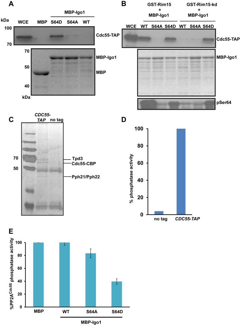 Igo1 associates and inhibits the phosphatase activity of PP2A Cdc55 in a phosphorylation dependent manner. A) Either MBP or MBP fused to Igo1, Igo-S64A and Igo1-S64D were purified from bacteria and equal amount of protein was incubated with yeast cell expressing Cdc55-TAP. The proteins bound to the beads were run on 10% SDS-PAGE and probed with anti-TAP antibody. The MBP purified proteins were visualized by coomassie staining of SDS-PAGE gels. WCE denotes whole cell extracts. B) GST-Rim15 and GST-Rim15-kd were purified from yeast cells. Equal amounts of MBP fused Igo1, Igo1-S64A and Igo1-S64D were subjected to in vitro phosphorylation using GST-Rim15 and GST-Rim15-kd respectively. MBP fused proteins were then pulled down with amylose beads and mixed with soluble protein extracts from a yeast strain expressing Cdc55-TAP. The proteins bound to the beads were analysed by western blotting using an anti-TAP antibody. Purified MBP-tagged proteins were visualized by coomassie staining of SDS-PAGE gels. Phosphorylation of Igo1 by Rim15 at S-64 was assayed using a phospho-specific antibody. WCE denotes whole cell extracts. C) TAP eluates from CDC55 -TAP and untagged strains were analysed by silver staining. D) Phosphatase activity of TAP eluates from CDC55 -TAP and untagged strains was measured using a colorimetric assay (Millipore). E) Phospho-mimetic mutant of Igo1 (Igo1S64D) inhibits the phosphatase activity of PP2A Cdc55 . Purified Cdc55 was incubated with equal amount (25 µg) of MBP-Igo1, MBP-Igo1-S64A and MBP-Igo1-S64D respectively. MBP was used as a control. The mixture was then incubated with 500 µM <t>phosphopeptide</t> (Millipore). The release of free phosphate was measured by colorimetric assay (Millipore).