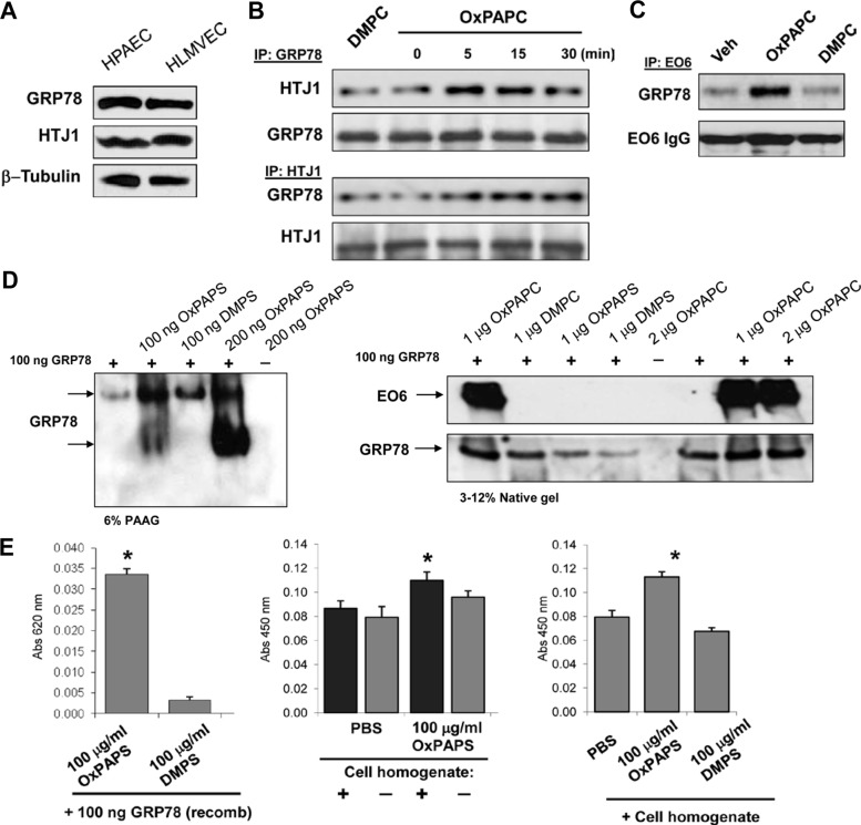Analysis of <t>GRP78–HTJ1</t> and OxPL–GRP78 interactions. (A) GRP78 and HTJ1 expression in HPAEC and human lung microvascular endothelial cells was detected by Western Blot. (B, C) GRP78 interactions were analyzed in coimmunoprecipitation assays using lysates from control or DMPC- (10 μg/ml, 15 min) or OxPAPC-stimulated (10 μg/ml) cells with antibody to GRP78 (B, top), HTJ1 (B, bottom), or EO6 antibody recognizing OxPL (C). (D) Human recombinant GRP78 was incubated with OxPAPC, OxPAPS, or their oxidation-resistant analogues DMPC or DMPS. Left, native gel electrophoresis, followed by Western blot with anti-GRP78 antibody. Shift in electrophoretic mobility of GRP78 incubated with OxPAPS, but not DMPS, indicates formation of GRP78–OxPAPS complex. Right, SDS–PAGE, followed by Western blot with EO6 antibody and reprobing with anti-GRP78 antibody. Positive EO6 immunoreactivity of GRP78 preincubated with OxPAPC indicates formation of GRP78–OxPAPC complex. (E) <t>ELISA</t> plates coated with OxPAPS or DMPS or control uncoated plates incubated with PBS incubated with human recombinant GRP78 (left) or HPAEC lysates (middle and right). The bound GRP78 was detected using anti-GRP78 antibody. * p