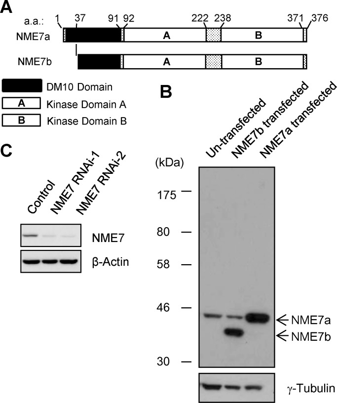 NME7 is detected in cultured cells and depleted after RNAi. (A) Schematic representation of NME7 domains. (B) Detection of NME7 isoforms. Lysates of HEK293T cells were probed using anti-NME7 and anti–γ-tubulin antibodies. Cells transfected with NME7a or NME7b were also analyzed by means of anti-NME7 immunoblotting. (C) HEK293T cells transfected with siRNA oligonucleotides were immunoblotted with anti-NME7 and anti–β-actin antibodies. The intensity of NME7 bands was quantified and normalized relative to the corresponding β-actin bands to estimate RNAi efficiency.