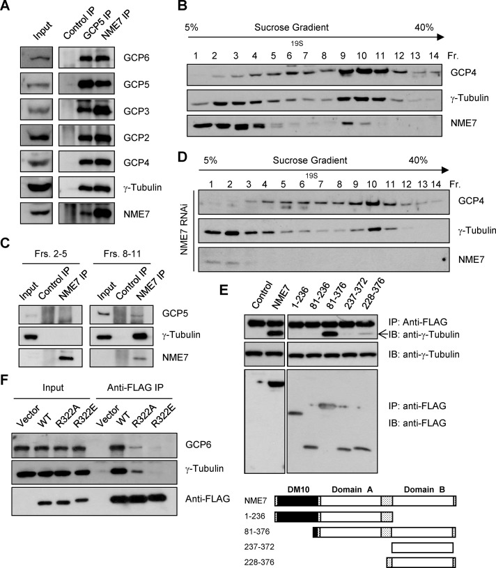 NME7 is a component of the γTuRC. (A) Proteins were immunoprecipitated from HEK293T extracts by using anti-NME7, anti-GCP5, and anti–immunoglobulin G (control) antibodies, and the immunoprecipitates were probed by means of immunoblotting. (B) HEK293T extracts were fractionated by centrifuging them over a continuous sucrose gradient, and the gradient fractions obtained were immunoblotted. (C) Gradient fractions containing γ-tubulin of the low–molecular weight species (fractions 2–5) and the γTuRC (fractions 8–11) were pooled and used for anti-NME7 immunoprecipitation. The immunoprecipitates were probed by means of immunoblotting. (D) Sucrose-gradient fractions of extracts of HEK293T cells transfected with an nme7 -targeting siRNA (NME7 RNAi) were probed on immunoblots. (E) Extracts of HEK293T cells expressing FLAG-tagged NME7 fragments were used for immunoprecipitation with an anti-FLAG antibody. The precipitated proteins were immunoblotted for γ-tubulin and NME7 fragments (anti-FLAG). A schematic representation of the NME7 constructs is shown below. (F) Extracts of HEK293T cells expressing FLAG-tagged wild-type (WT) and mutant NME7 proteins were immunoprecipitated with anti-FLAG antibodies. The precipitates were probed using anti–γ-tubulin, anti-FLAG, and anti-GCP6 antibodies.