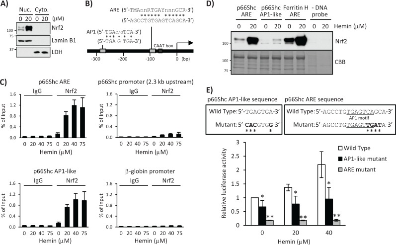 Nrf2 binds the human p66Shc promoter containing the ARE and AP1-like sequences. (A) K562 cells were treated with 20 μM hemin for 36 h, and nuclear (Nuc.) and cytoplasmic (Cyto.) fractions were used for Western blot with Nrf2, lamin B1, or LDH antibody. Lamin B1 and LDH are nuclear and cytoplasmic fraction markers, respectively. (B) Schematic of the 5′-promoter region of the human p66Shc gene, which contains an ARE and an AP1-like sequence. n = any base; M = A or C; R = A or G; Y = C or T. Asterisks indicate matched bases. (C) K562 cells treated with 0, 20, 40, and 75 μM hemin for 12 h were subjected to ChIP assays with control IgG or Nrf2 antibody, followed by real-time PCR using p66Shc primers spanning the ARE, AP1-like, a 2.3-kb upstream 5′-promoter region, and a β-globin promoter region. Data were normalized by input DNA and are shown as mean ± SD ( n = 3). (D) Nuclear extracts of K562 cells treated with 20 μM hemin for 36 h were used for pull-down assay. Nrf2 binding to a biotinylated double-strand p66Shc ARE (−107 to −82 base pairs) or a p66Shc AP1-like (−291 to −266 base pairs) probe was detected by Western blot using an Nrf2 antibody. A human ferritin H ARE (–4433 to –4412 base pairs) probe was used as a positive control and no DNA probe in the binding reaction as a negative control. Coomassie brilliant blue (CBB) staining is shown for verification of equal loading. (E) K562 cells were transfected with wild-type or mutant pGL3 p66Shc-450/+60 plasmid and incubated with 0, 20, and 40 μM hemin for 24 h. Firefly luciferase activity was normalized by Renilla luciferase activity and presented as relative to nontreated wild-type p66Shc-450/+60 plasmid. Top, asterisks indicate mutated nucleic acid. Bottom chart, asterisks indicate significantly different from nontreated cells transfected with wild-type p66Shc-450/+60 plasmid. * p
