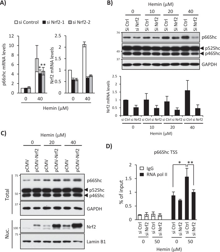 Nrf2 knockdown blocks hemin-induced transcriptional activation of the p66Shc gene. (A) K562 cells were treated with 0 and 40 μM hemin for 24 h after Nrf2 knockdown using Nrf2-targeted siRNA-1 or -2 (si Nrf2-1 or si Nrf2-2). Real-time PCR was performed for p66Shc and Nrf2 mRNA expression. Results are presented as relative mRNA expression (nontargeted control siRNA [si Control], no hemin as 1.0) and normalized by GAPDH. p values were calculated using Student's t test. Asterisk indicates significant difference; * p = 0.01, ** p = 0.045. Data are shown as mean ± SD ( n > 4). (B) K562 cells transfected with a si Control (si Ctrl) or si Nrf2-1 were treated with 0, 10, 20, or 40 μM hemin for 24 h. Top, Western blots using anti-Shc and anti-GAPDH antibodies. Bottom, Nrf2 mRNA levels measured by real-time PCR after normalization with GAPDH mRNA. Data are shown as mean ± SD ( n > 4). (C) K562 cells were transfected with pCMV or pCMV-Nrf2 plasmid and treated with 0, 20, and 40 μM hemin for 24 h. Whole-cell lysate (Total) and nuclear fraction (Nuc.) were used for Shc and GAPDH Western blot and Nrf2 and lamin B1 Western blot, respectively. (D) K562 cells were treated with 0 and 50 μM hemin for 12 h after Nrf2 knockdown, and ChIP assays were performed with control IgG or an anti–RNA polymerase II antibody (RNAPII), followed by real-time PCR using primers spanning the p66Shc transcriptional start site. Data were normalized by input DNA and are shown as mean ± SD ( n = 3). p values were calculated using Student's t test. Asterisk indicates significant difference; * p = 0.002, ** p = 0.005.