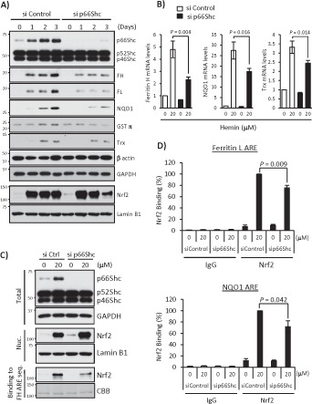 p66Shc deficiency impairs expression of other ARE-dependent antioxidant genes. (A) si Control– or p66Shc siRNA-1–transfected K562 cells were treated with 20 μM hemin for 1, 2, and 3 d. Whole-cell lysates were used in Western blots for Shc, ferritin H (FH), ferritin L (FL), NQO1, GSTπ, thioredoxin-1 (Trx), β-actin, and GAPDH, and nuclear extracts were used for Nrf2 and lamin B1. (B) siRNA-transfected K562 cells were treated with 20 μM hemin for 36 h, and real-time PCR was performed for ferritin H, NQO1, and Trx mRNA. Data are presented as relative mRNA expression (si Control/day 0 is defined as 1.0) after normalization with RPL13A (ribosomal protein L13A). Data are shown as mean ± SD ( n = 3). (C) Shc and GAPDH Western blots and Nrf2 and lamin B1 Western blots were performed using whole-cell lysates (Total) and nuclear extracts (Nuc.) of siRNA-transfected K562 cells treated with 20 μM hemin for 36 h, respectively. Nuclear extracts were also used for pull-down assay. Nrf2 binding to biotinylated double-strand ferritin H ARE (−4067 to −4046 base pairs) probe was detected by Western blot using an Nrf2 antibody. Coomassie brilliant blue (CBB) staining is shown for verification of equal loading. (D) siRNA-transfected K562 cells treated with 20 μM hemin for 36 h were subjected to ChIP assays with control IgG or Nrf2 antibody, followed by real-time PCR using ferritin L and NQO1 primers spanning the ARE region. Data were normalized by input DNA and are shown as mean ± SD ( n = 3).