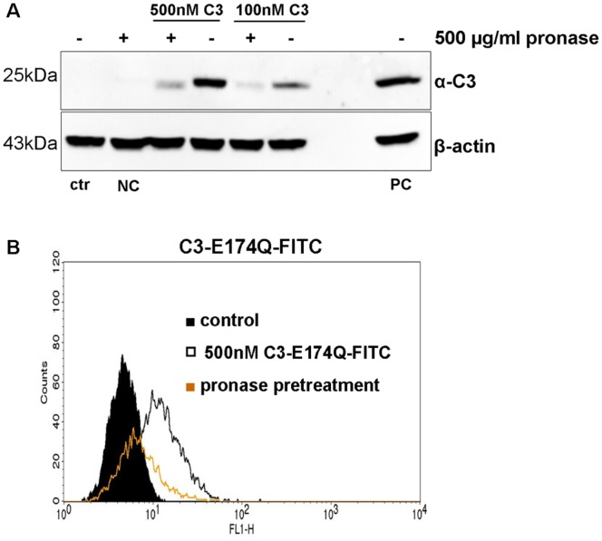 Binding of C3 to HT22 cells after pronase treatment. A) Pronase pre-incubated HT22 cells were exposed to 100 or 500 nM of C3 for 1 h at 4°C. Subsequently, β-actin and bound C3 were detected by Western blot. NC = negative control without C3, PC = positive control lysate with 10 ng C3. One representative experiment is shown (n = 3 independent experiments). B) Pronase-treated HT22 cells were exposed to 500 nM of C3-E174Q-FITC for 1 h at 4°C and bound C3- E174Q-FITC was analyzed by FACS.